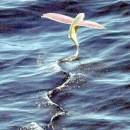 """Pesci volanti in laguna. Bettin: """"Spettacolo meraviglioso ma anche inquietante"""""""